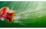 Медузы — доклад сообщение (3, 4, 7 класс, биология, окружающий мир)