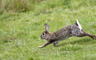 Кролики — сообщение доклад