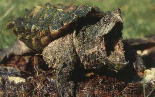Черепаха — доклад сообщение