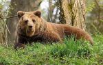 Доклад на тему медведи сообщение