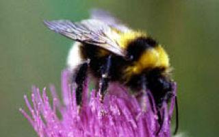 Пчелы, осы, шмели — сообщение доклад