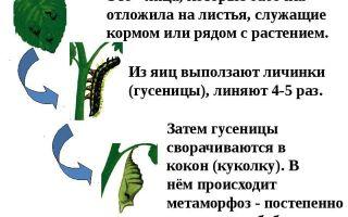 Бабочки — сообщение доклад (2, 7 класс. биология. окружающий мир)