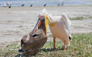 Пеликан — сообщение доклад