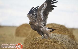 Степной орел — сообщение доклад