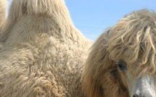 Верблюд — сообщение доклад