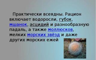 Иглокожие — сообщене доклад (3, 7 класс биолоия. окружающий мир)