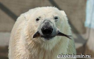 Белый медведь — сообщение доклад про полярного медведя