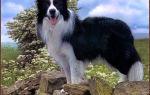 Доклад на тему собака сообщение