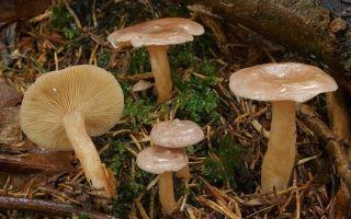 Доклад гриб рыжик сообщение