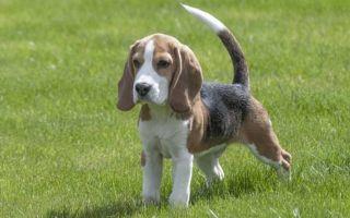 Анализ стихотворения тургенева собака 7 класс