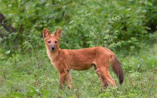 Красный волк — сообщение о редком животном