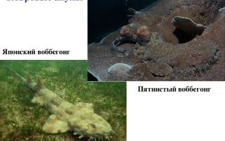 Хрящевые рыбы — 7 класс биология сообщение доклад