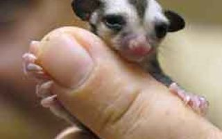 Сумчатые животные — доклад сообщение