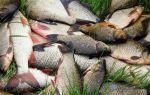 Рыба карась — сообщение доклад