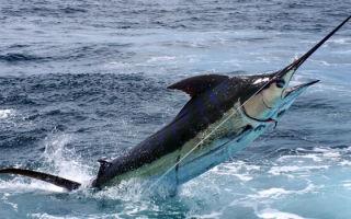 Рыба-меч — сообщение доклад