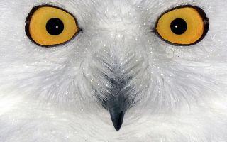 Полярная сова — сообщение доклад