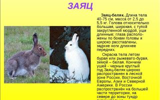 Животные леса — доклад (2, 3, 4 класс окружающий мир)