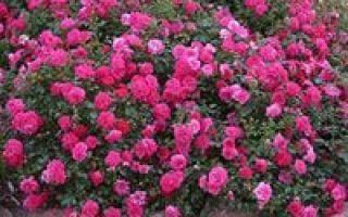 Доклад сообщение роза