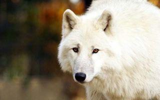 Волк и ягненок — краткое содержание басни крылова