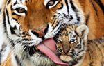 Тигр — доклад сообщение