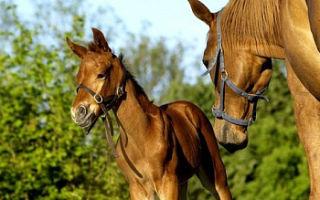 Лошадь — сообщение доклад