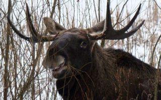 Какие животные кормится зимой корой деревьев?