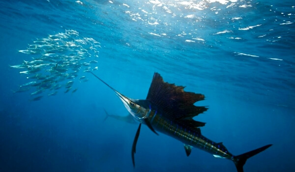 Рыба-меч - сообщение доклад