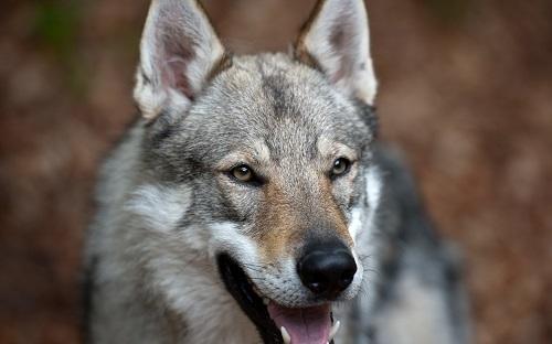 Волк на псарне - краткое содержание басни Крылова
