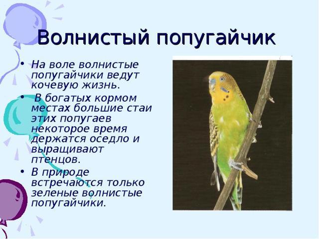 Доклад сообщение Волнистый попугай