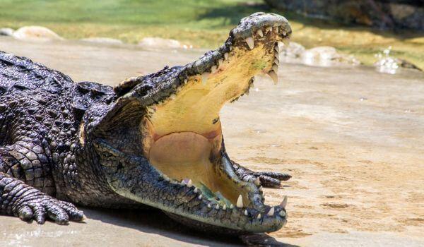 Крокодил - доклад сообщение