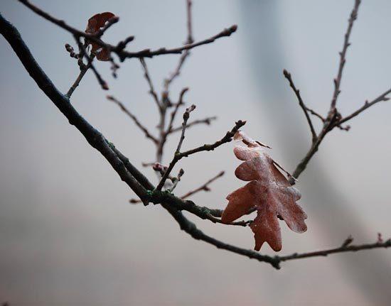 Зимний дуб - краткое содержание рассказа Нагибин