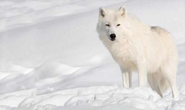 Животные Арктики - сообщение доклад (4 класс. Окружающий мир)