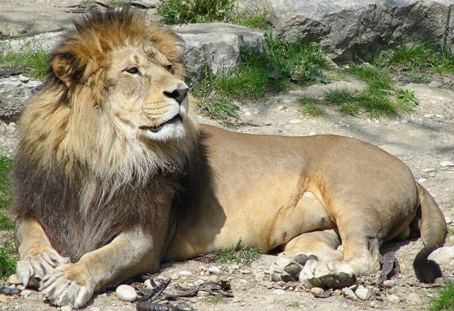 Доклад на тему Львы (сообщение 2, 3, 7 класс)