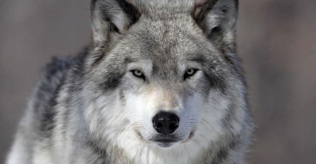 Волк - сообщение доклад
