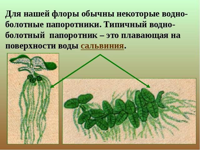 Папоротники - сообщение доклад (3, 5 класс биология окружающий мир)