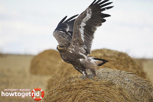 Степной орел - сообщение доклад