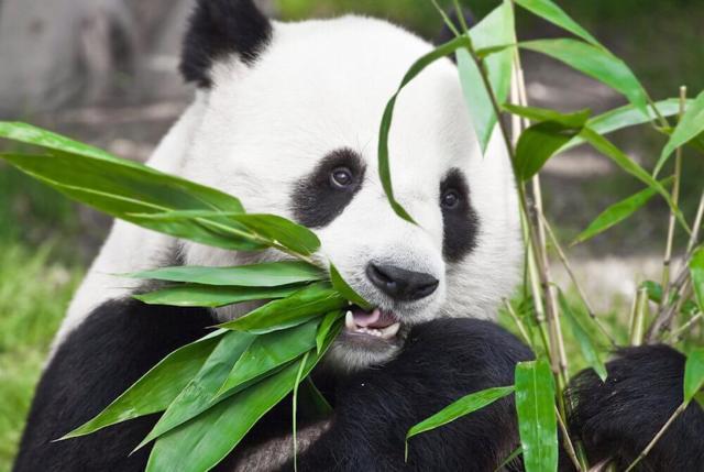 Панда - сообщение доклад