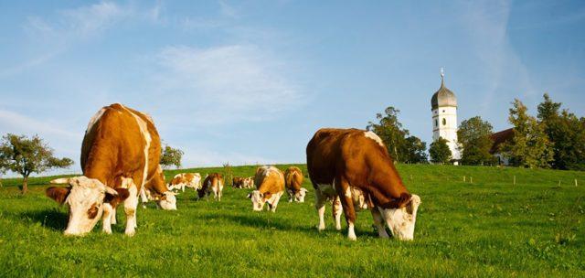 Корова - сообщение доклад