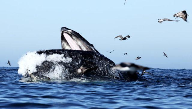 Синий кит - сообщение доклад