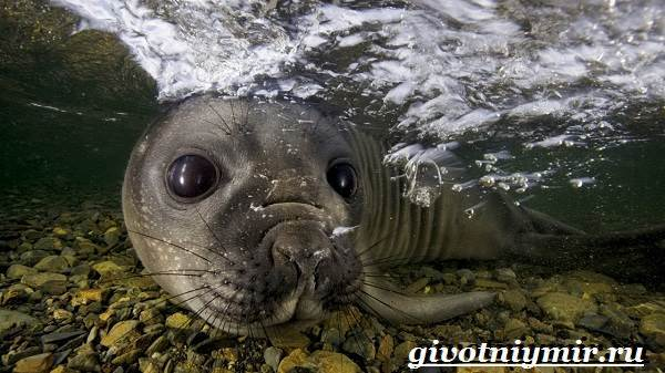 Доклад на тему Морской леопард сообщение