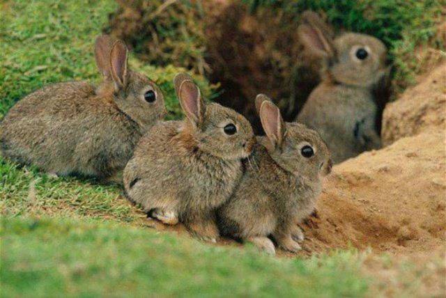 Кролики - сообщение доклад