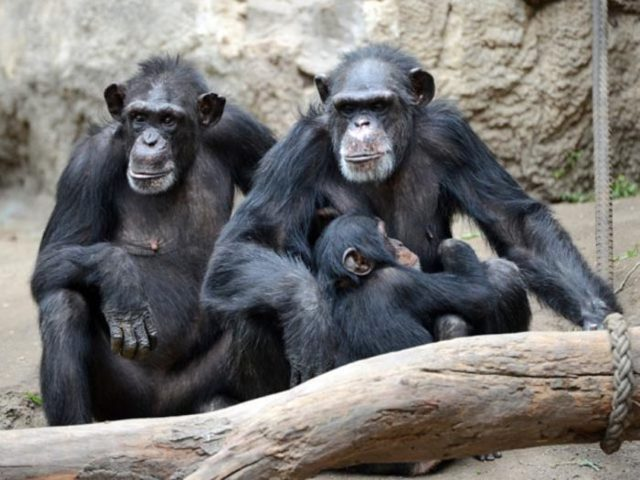 Шимпанзе - сообщение доклад