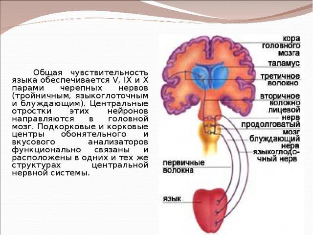 Доклад на тему Язык - орган вкуса 4 класс окружающий мир