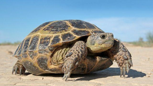 Черепаха - доклад сообщение