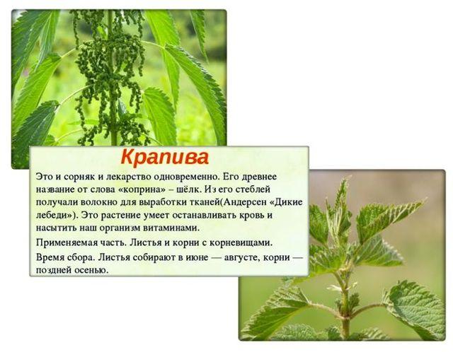 Крапива - сообщение доклад (2, 3, 4 класс)