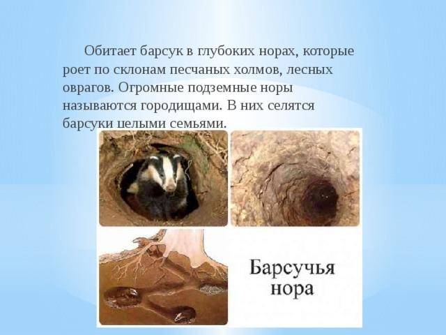 Барсук - сообщение доклад 3 класс Окружающий мир