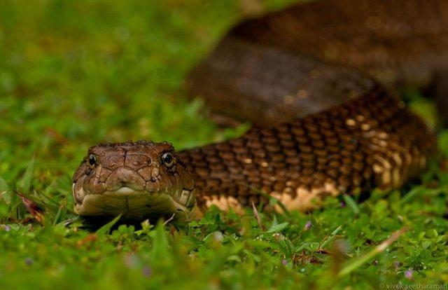 Кобра - сообщение доклад про змею