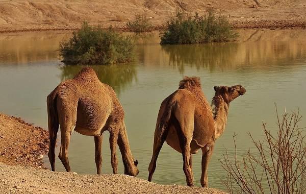 Верблюд - сообщение доклад