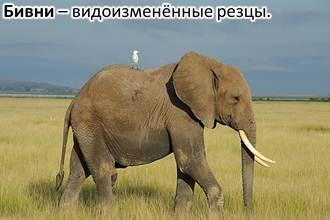 Хоботные животные - сообщение доклад (Отряд хоботные млекопитающие)