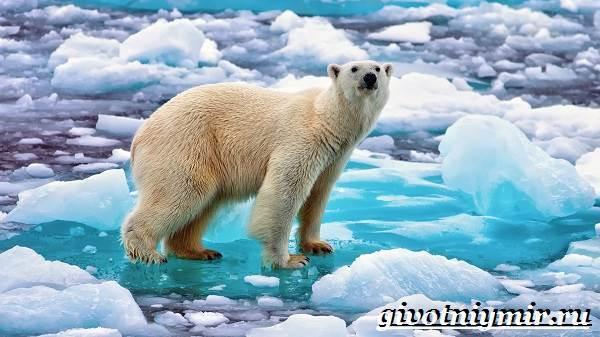 Белый медведь - сообщение доклад про Полярного медведя